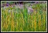 Marsh Grass-06-11-01cr
