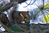 Red Squirrel-06-30-01