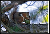 Red Squirrel-06-30-01cr