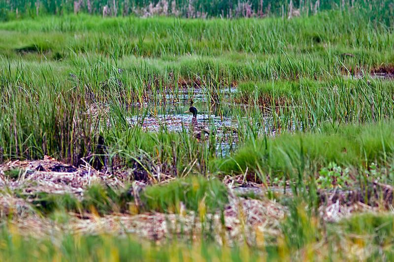 Mallard Duck-06-11-01