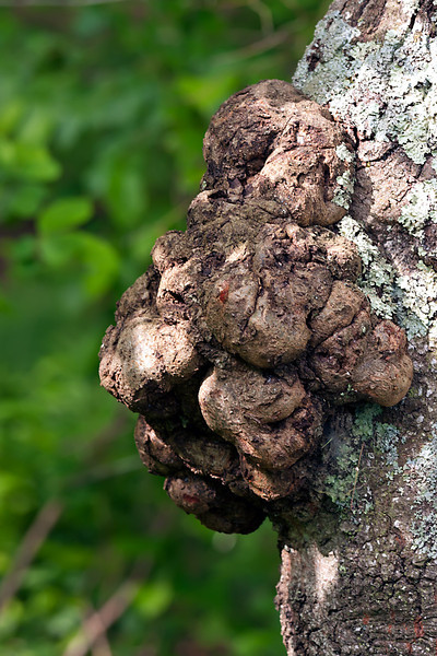 Knotty Tree Growth-06-11-01