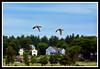 Mallard Duck-06-11-03acr