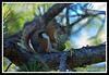 Red Squirrel-06-30-02cr