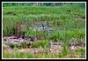 Mallard Duck-06-11-01cr