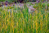 Marsh Grass-06-11-01
