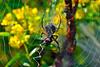 Argiope Garden Spider-08-23-01a