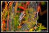 Argiope Garden Spider-08-29-02cr