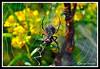 Argiope Garden Spider-08-23-01acr