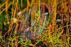 Argiope Garden Spider-08-29-01