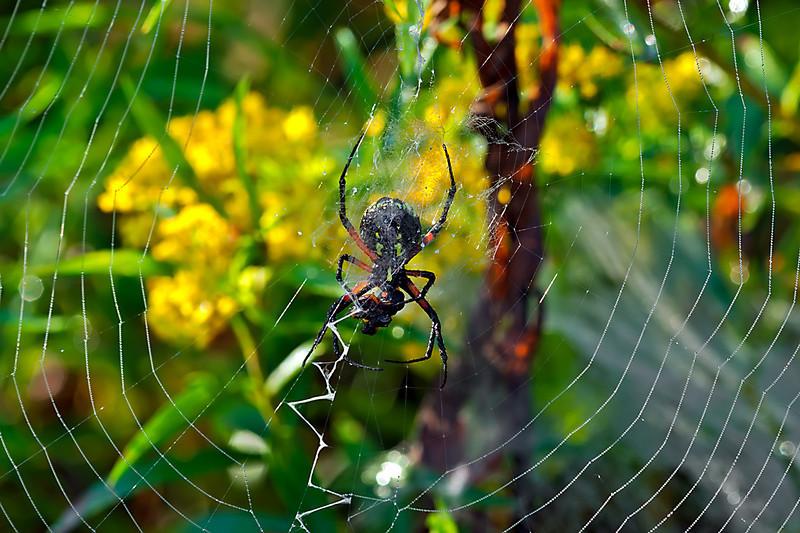 Argiope Garden Spider-08-23-01