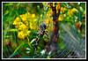 Argiope Garden Spider-08-23-01cr