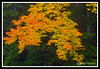 Autumn Tree off Route 112 Kancamagus Highway