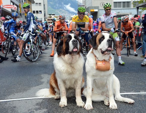 Two Great St Bernard dogs pose before the start in Martginy...