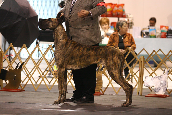 Open Brindle Bitches