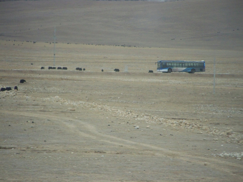 0119 - Yaks and Tibet Bus on Train Trip Between Beijing and Lhasa.JPG