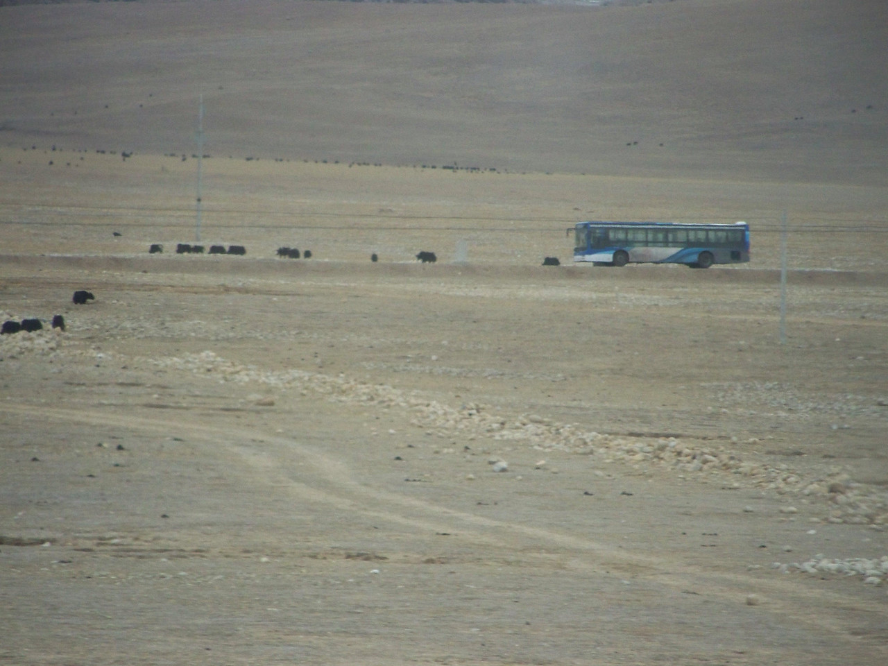 0119 - Yaks and Tibet Bus on Train Trip Between Beijing and Lhasa.JPG