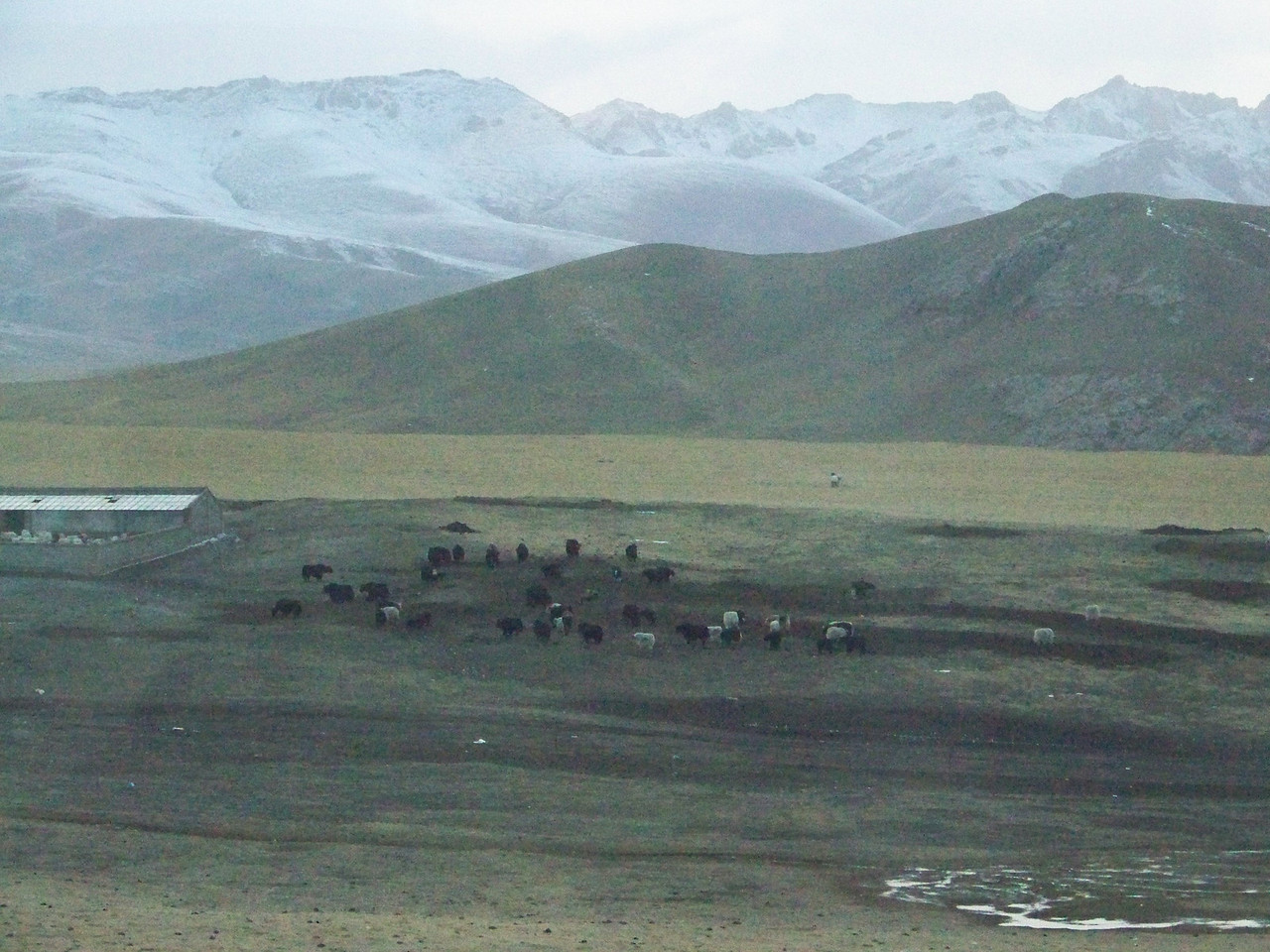 0095 - Yaks on Train Trip Between Beijing and Lhasa.JPG