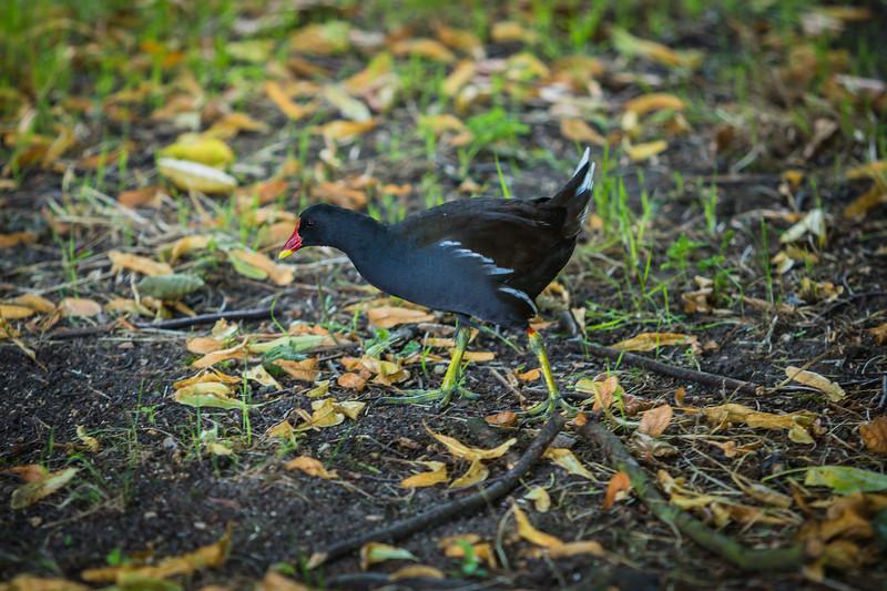 Coot Bird in Cambridge