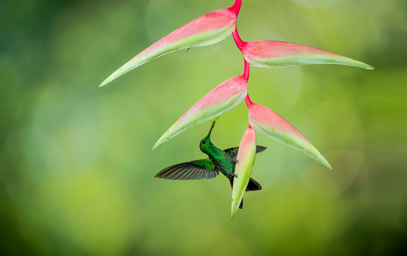 Central Volcanic Mountain Range, Costa Rica: male Green-crowned Brilliant