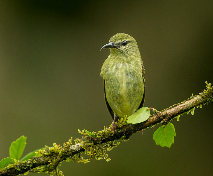 Atlantic Lowlands, Costa Rica: female Red-legged Honeycreeper