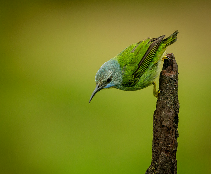 Atlantic Lowlands, Costa Rica: female Shining Honeycreeper