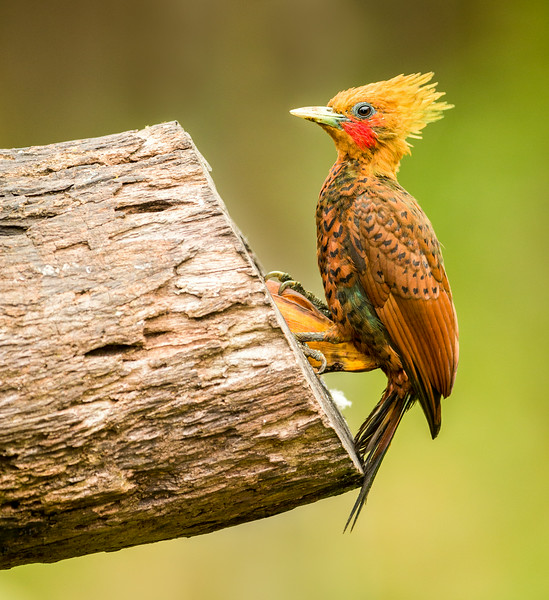 Atlantic Lowlands, Costa Rica: Chestnut-colored Woodpecker