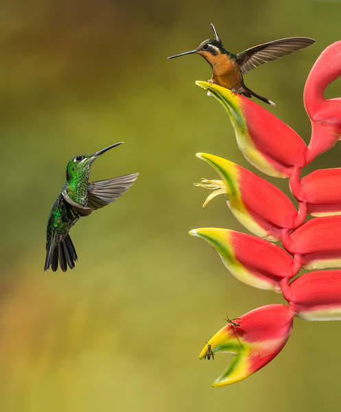 Central Volcanic Mountain Range, Costa Rica: female Green-crowned Brilliant and female Purple-throated Mountain Gem