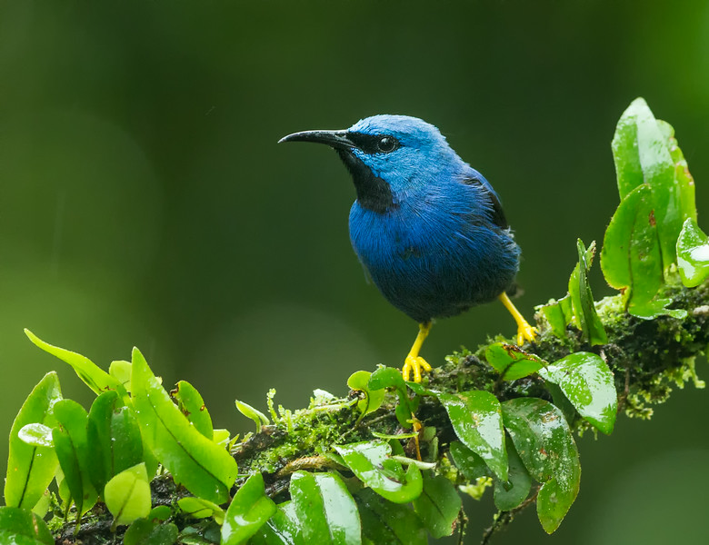 Atlantic Lowlands, Costa Rica: male Shining Honeycreeper