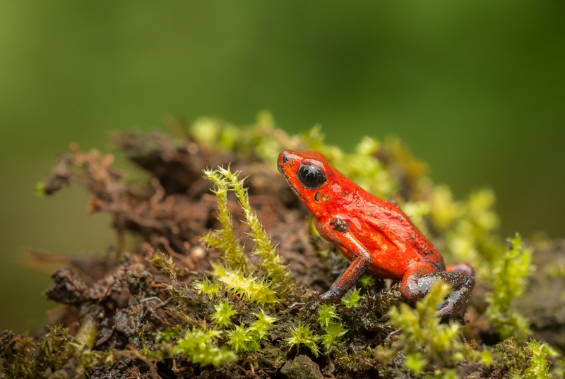 Atlantic Lowlands, Costa Rica: Strawberry Poison Frog