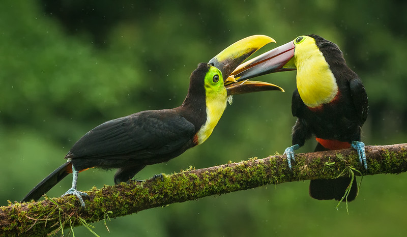 Atlantic Lowlands, Costa Rica: Chestnut-mandibled Toucans