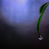 a drop at the tip <p></p> day 11/365 of my daily photo journal for 2013