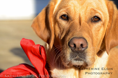 December - Caroline's new service dog, Shelly, wishes you a happy holiday season!