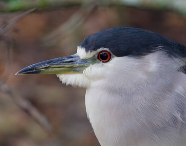 Night heron-216