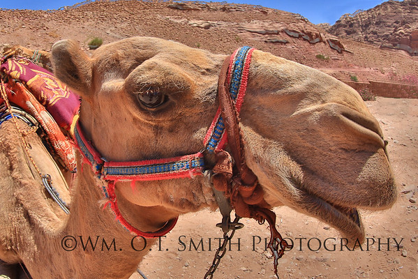 Camel awaiting a rider