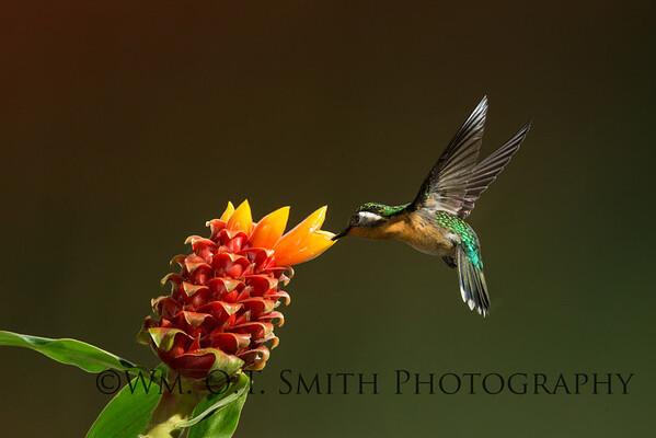 Female Purple Throated Mountain Gem Hummingbird