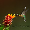 Female Purple Throated Mountain Gem Hummingbird