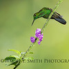 Male Green-crowned Brilliant Hummingbird