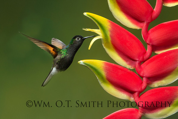 Male Black-bellied Hummingbird
