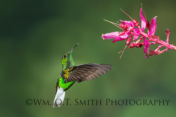 Male Green-crowned Brilliant Hummingbird