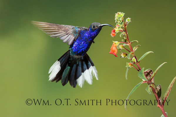 Violet Saberwing Hummingbird