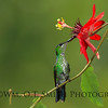 Female Green-crowned Brilliant Hummingbird