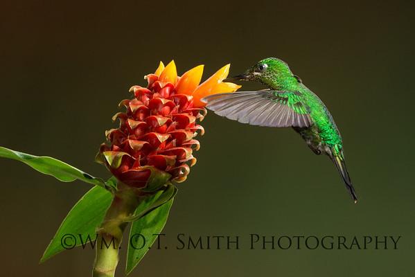 Female Green Crowned Brilliant Hummingbird