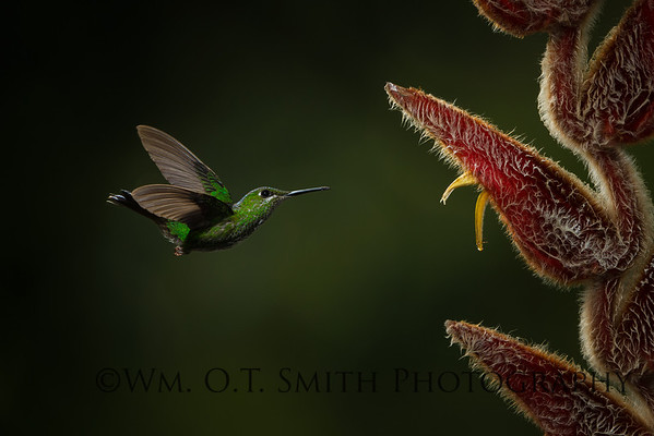 Female Green Crowned Brilliant Hummingbird