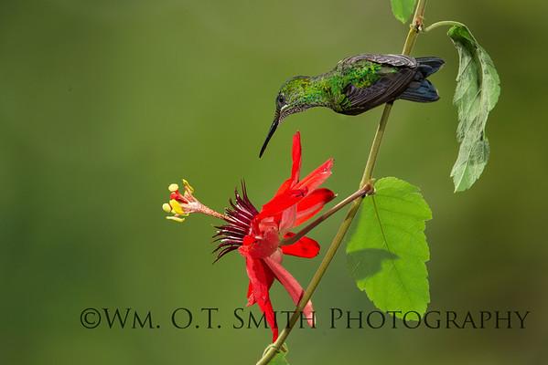 Female Green-crowned Brilliant Hummingbird