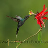 Male Green Hermit Hummingbird