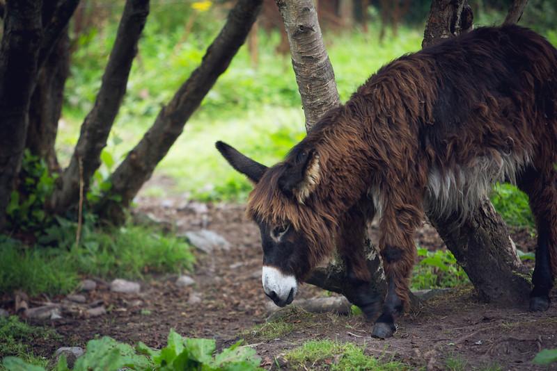 Irish Donkey