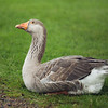 Harvey the Goose