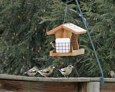 Evening Grosbeaks  @ Mohican State Park - Feb 2013