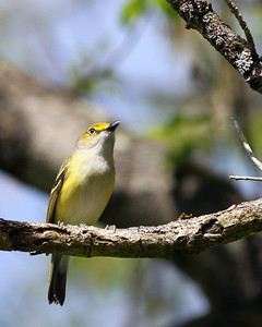 White-eyed Vireo @ Clear Creek Metro Park - May 2013
