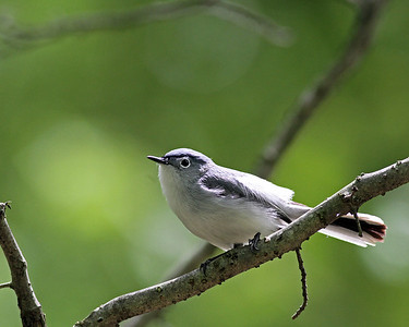 Blue-grey Gnatcatcher @ Clear Creek Metro Park - May 2013